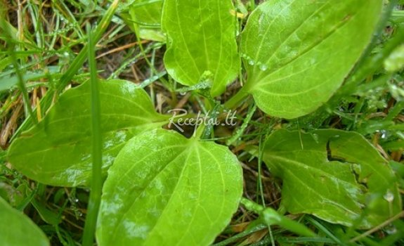 Gysločių lapų salotos